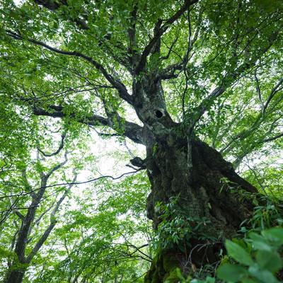 「大ブナの古木」の写真素材