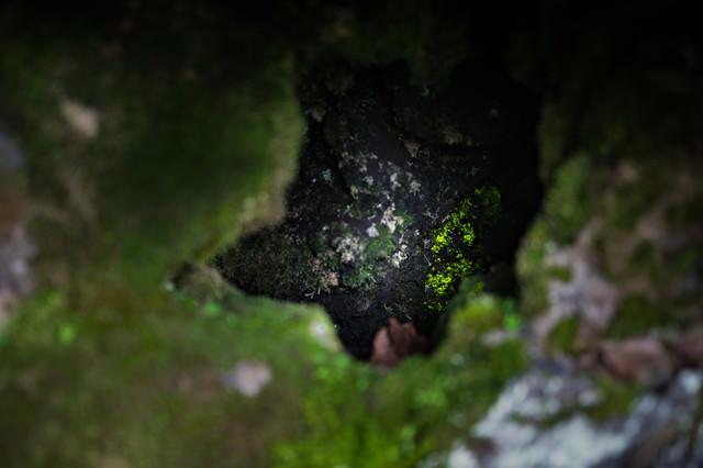 ヒカリゴケの写真