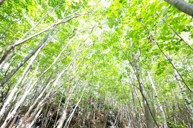 新緑の木々の写真