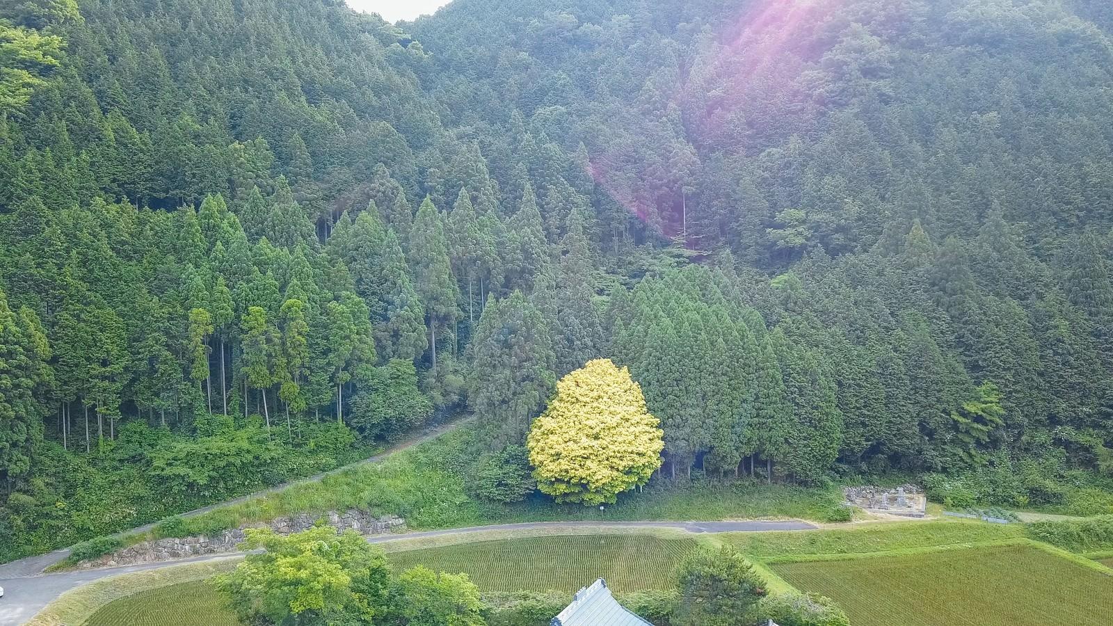 「一年を通して七色に変化する魅惑の樹木、七色樫(鏡野町)」の写真