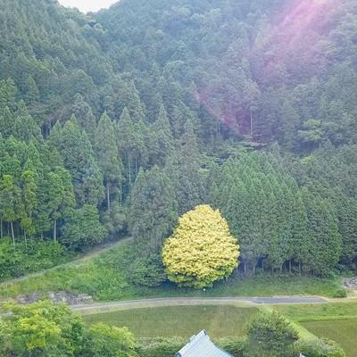 「一年を通して七色に変化する魅惑の樹木、七色樫(鏡野町)」の写真素材