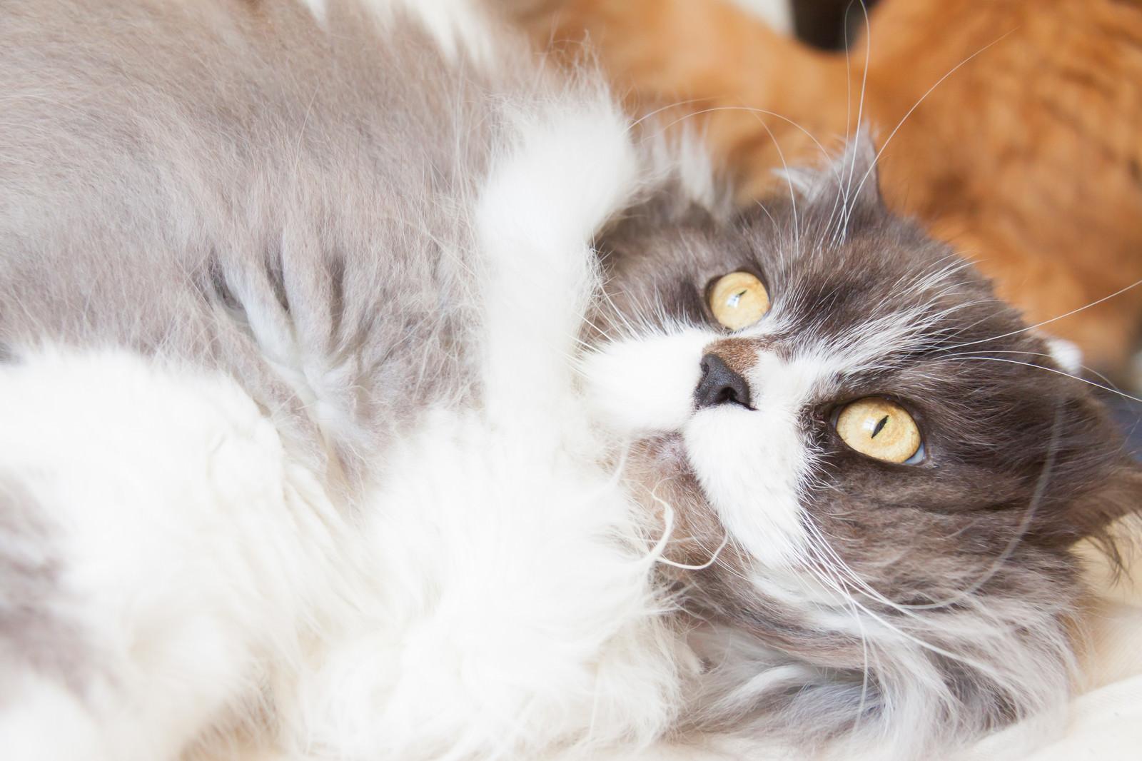 「ふてぶてしい態度を取る猫ふてぶてしい態度を取る猫」のフリー写真素材を拡大