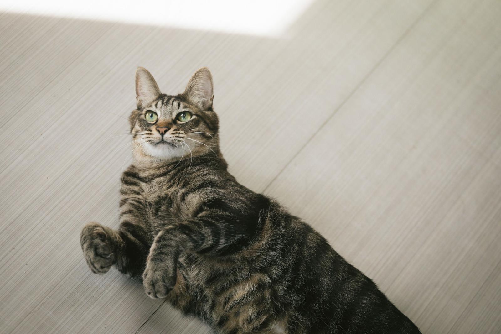 「横たわるにゃんこ」の写真