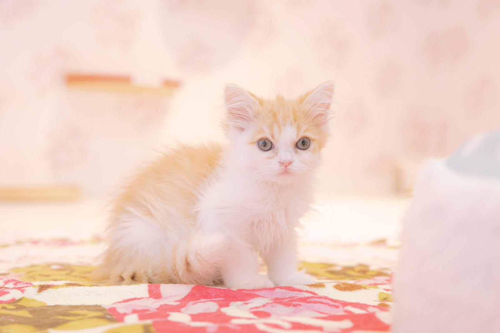 「うまれて1ヶ月の子猫」の写真