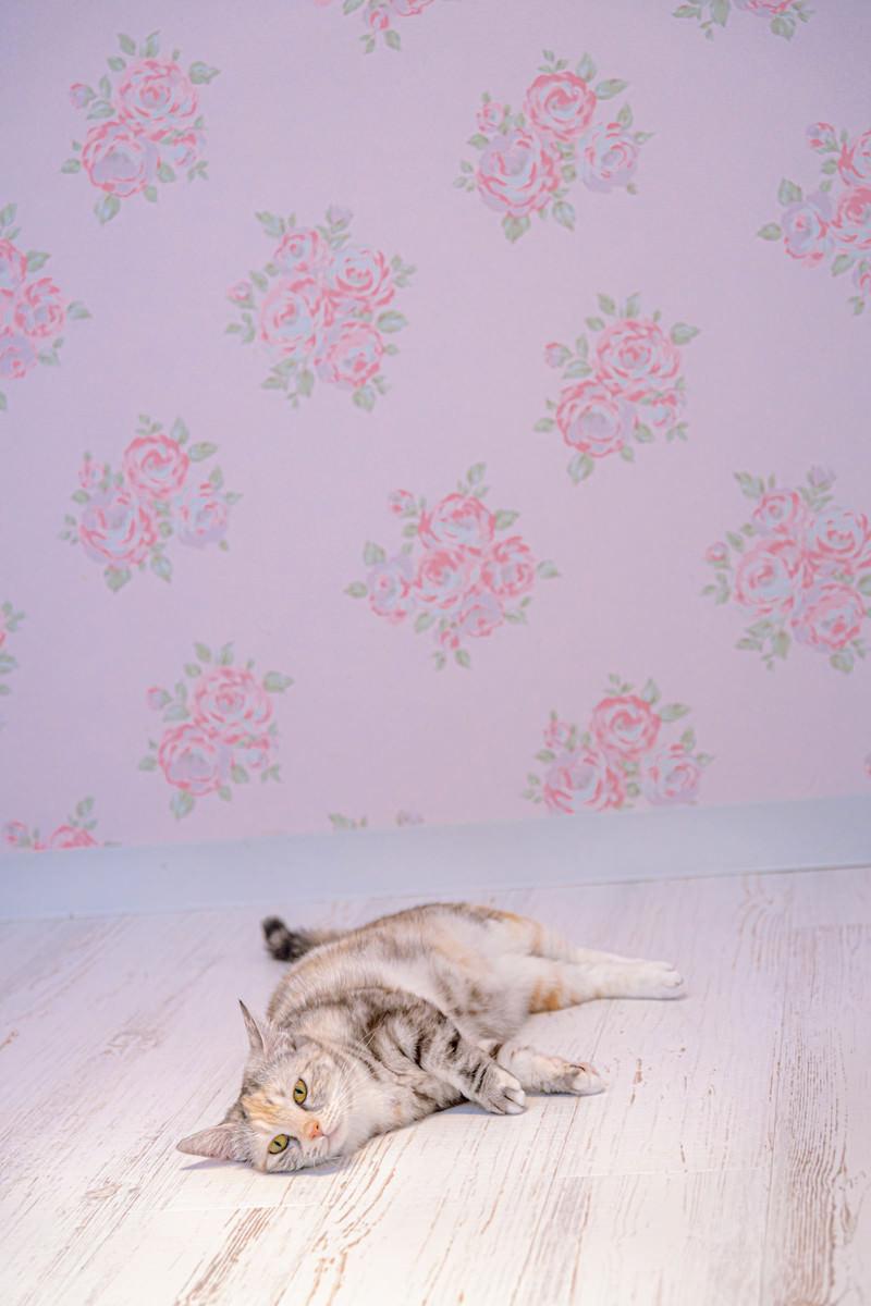 「ゴロ寝マンチカン(だんごちゃん)」の写真