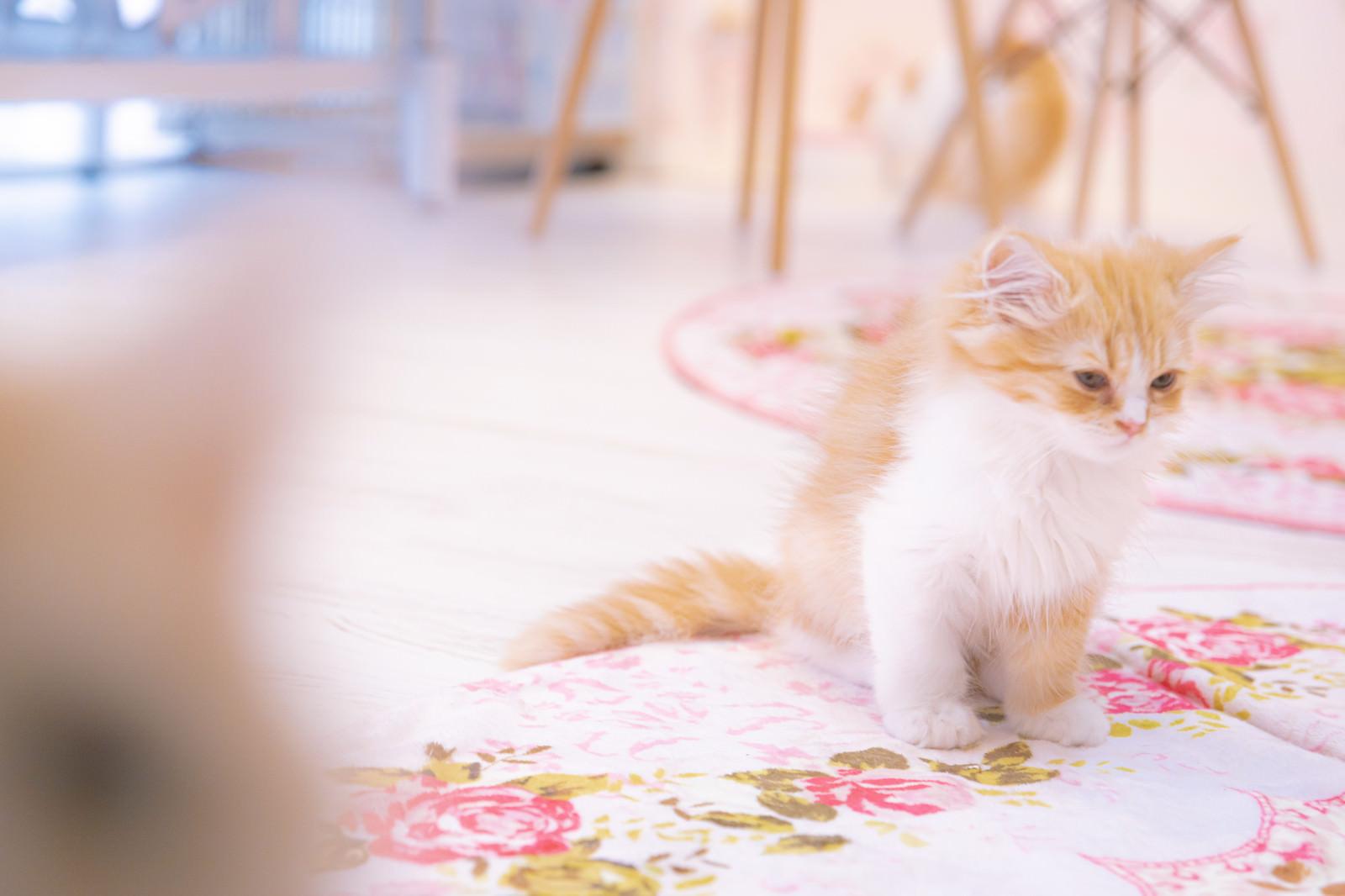 「寝落ち寸前の子猫」の写真