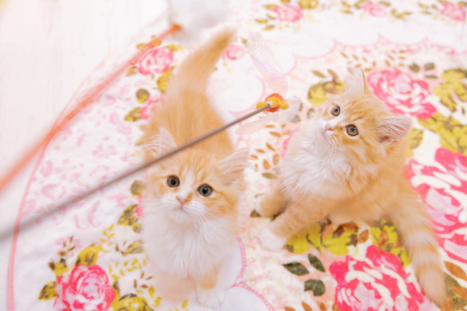 子猫を釣り上げるのフリー素材