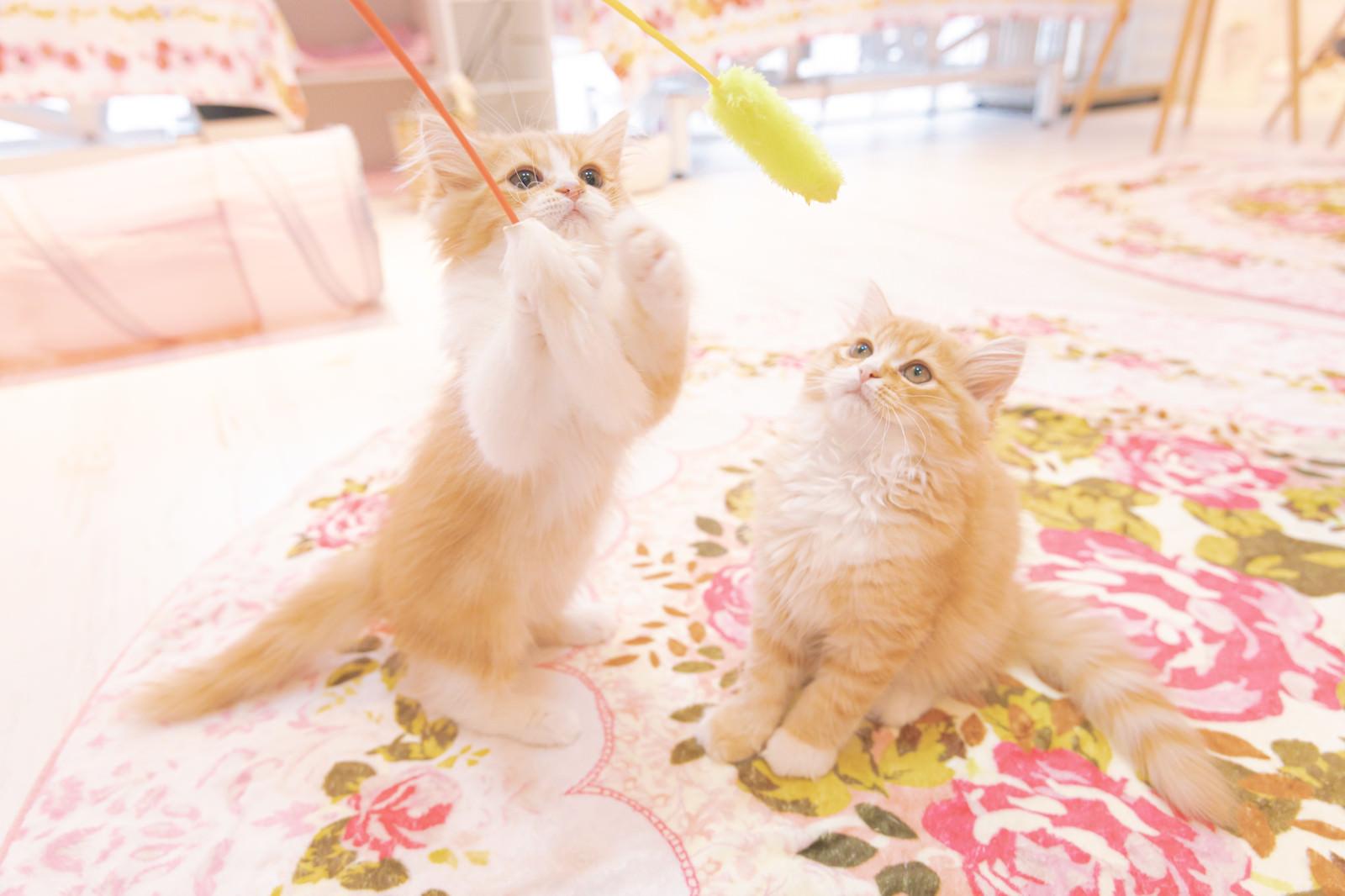 「猫のおもちゃで子猫と戯れる」の写真