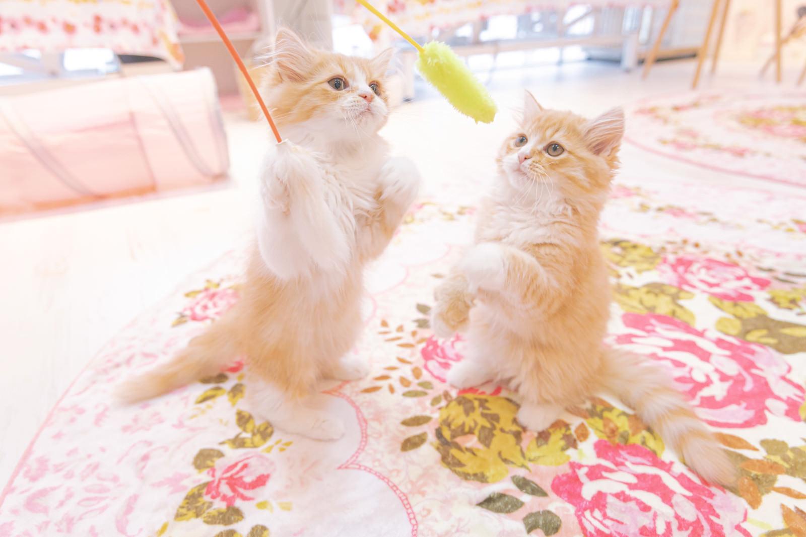 「猫カフェで子猫と戯れる」の写真