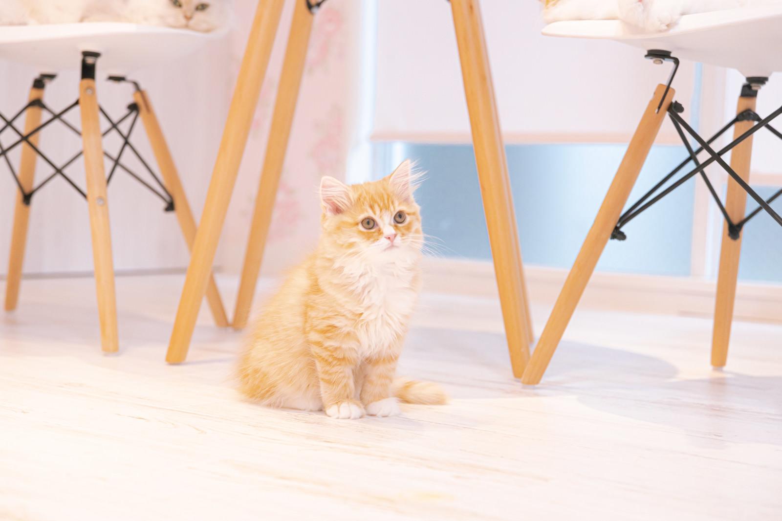 テーブルの下でおすわりする子猫のフリー素材