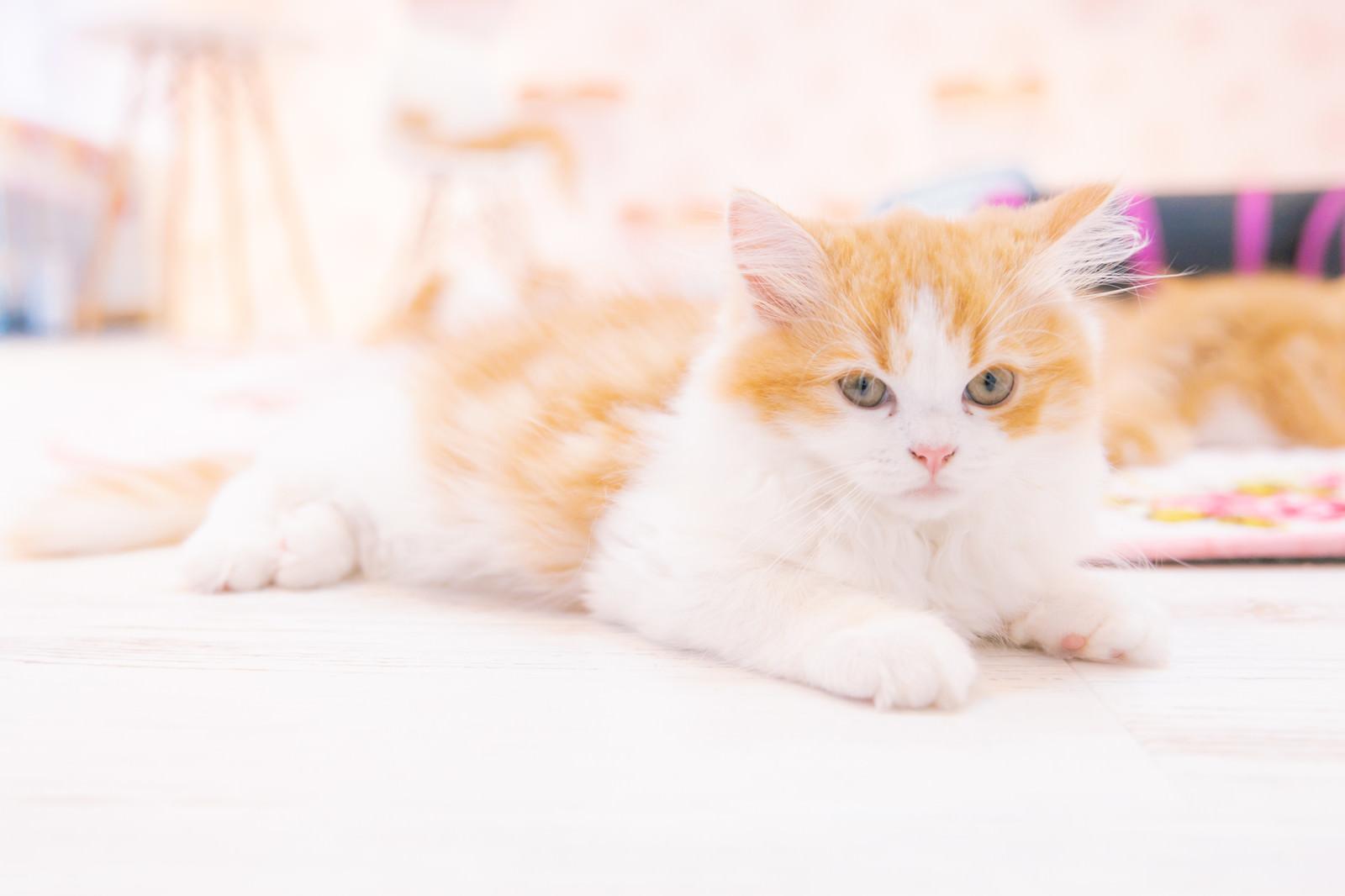 「もふもふの子猫ちゃん」の写真