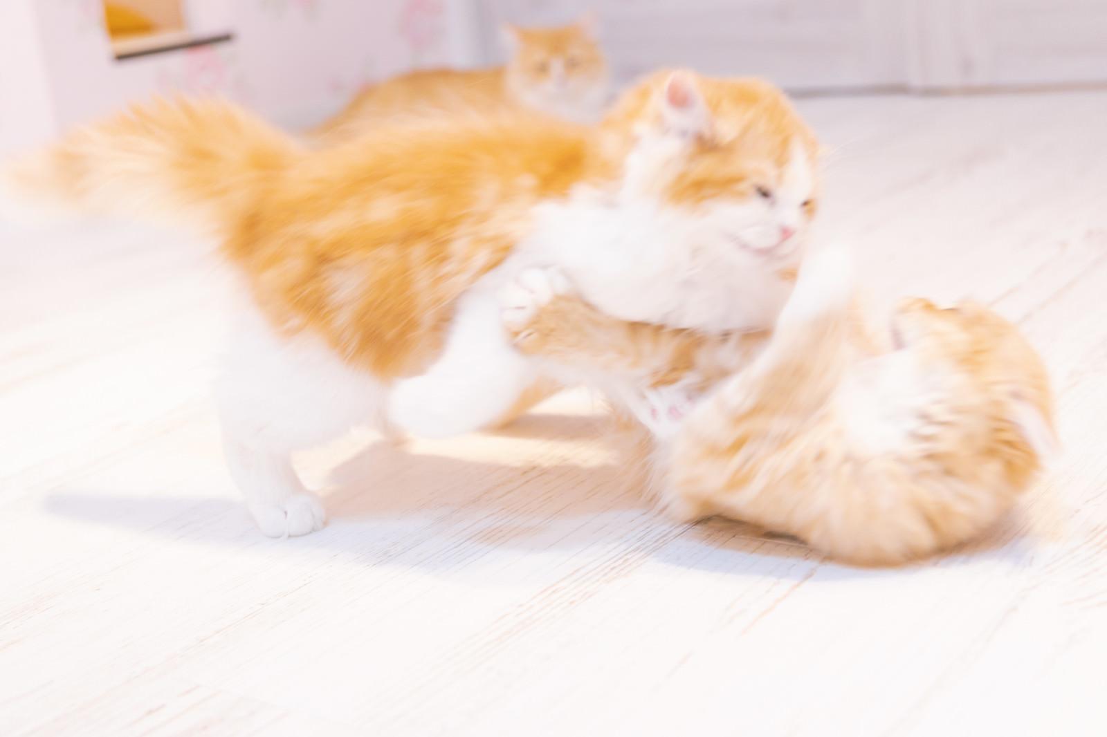 じゃれ合う子猫のフリー素材