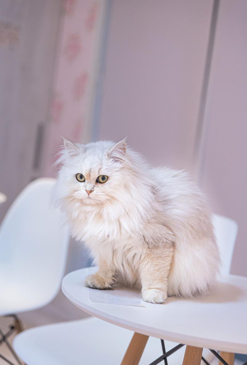 「ふわふわペルシャ猫」の写真