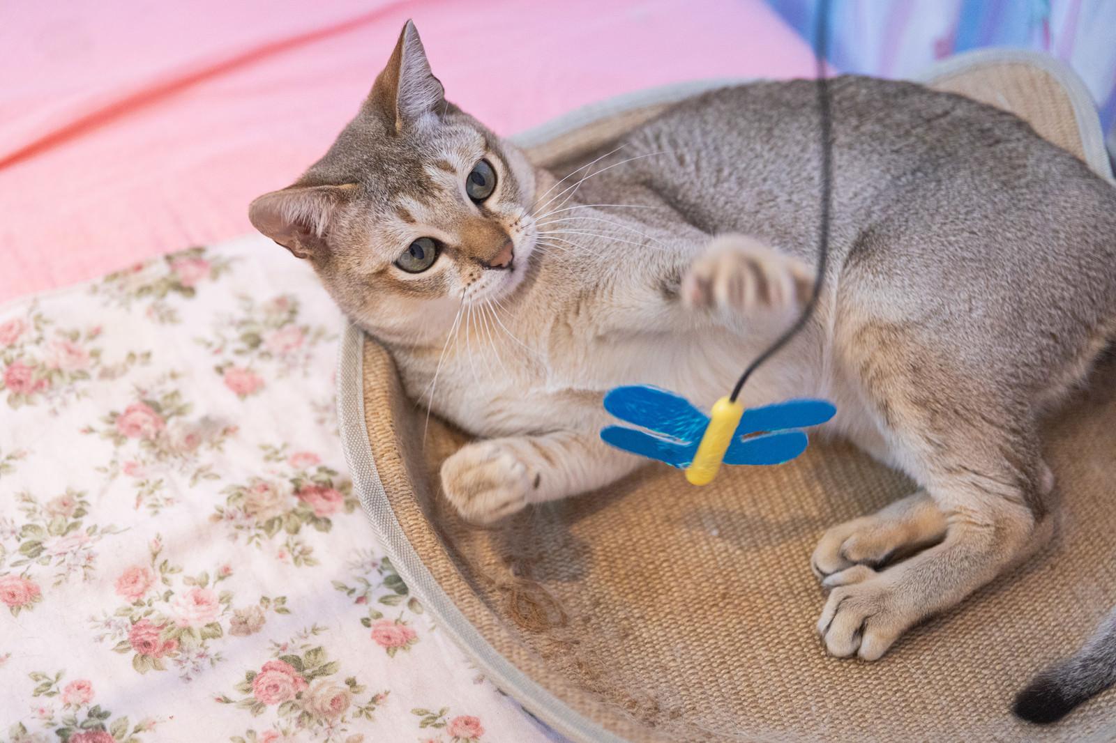 「おもちゃに興味津々のシンガプーラ(猫)」の写真