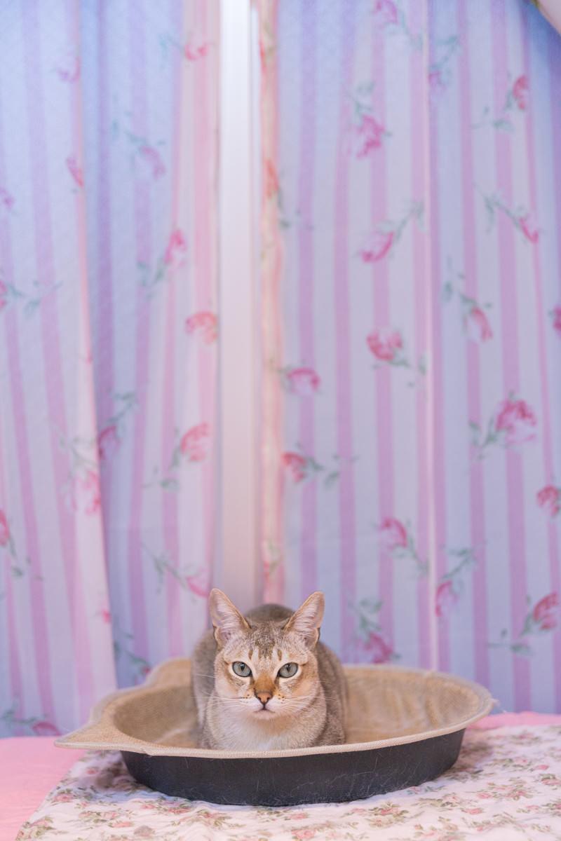 「シンガプーラの猫ちゃん」の写真