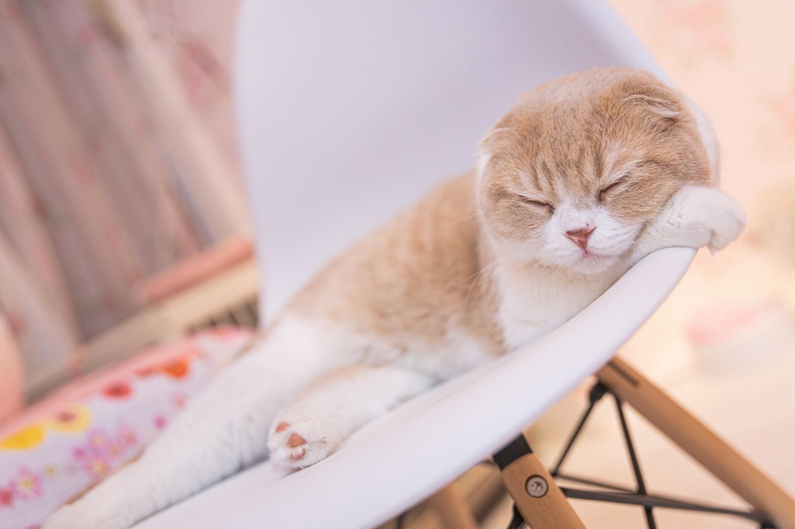 「気持ちよく眠るスコティッシュフォールド」の写真