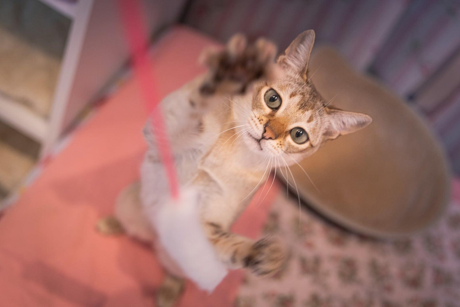 「運動能力の高いシンガプーラ(猫)」の写真