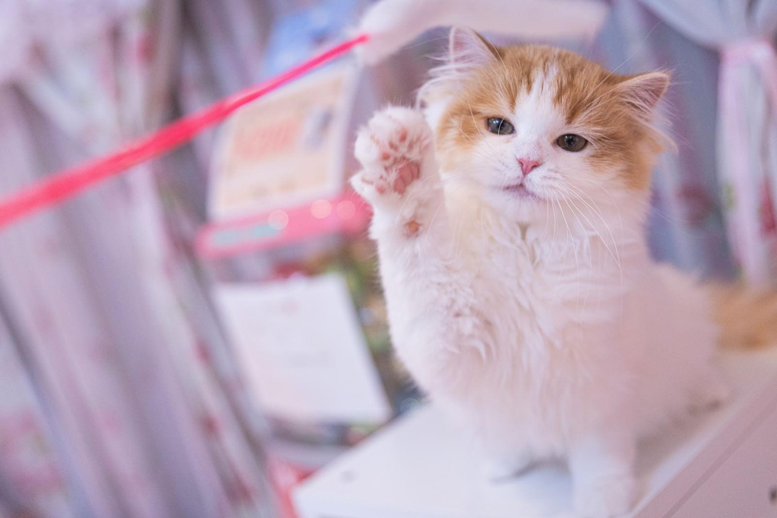 「小さな肉球が可愛いスコティッシュフォールドの子猫」の写真