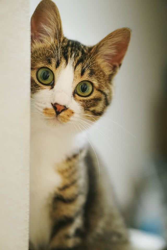 キジ白猫はみたの写真