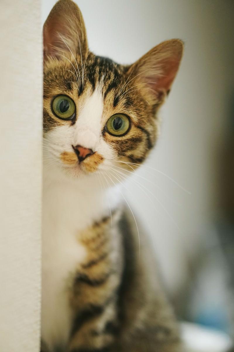 「キジ白猫はみたキジ白猫はみた」のフリー写真素材を拡大