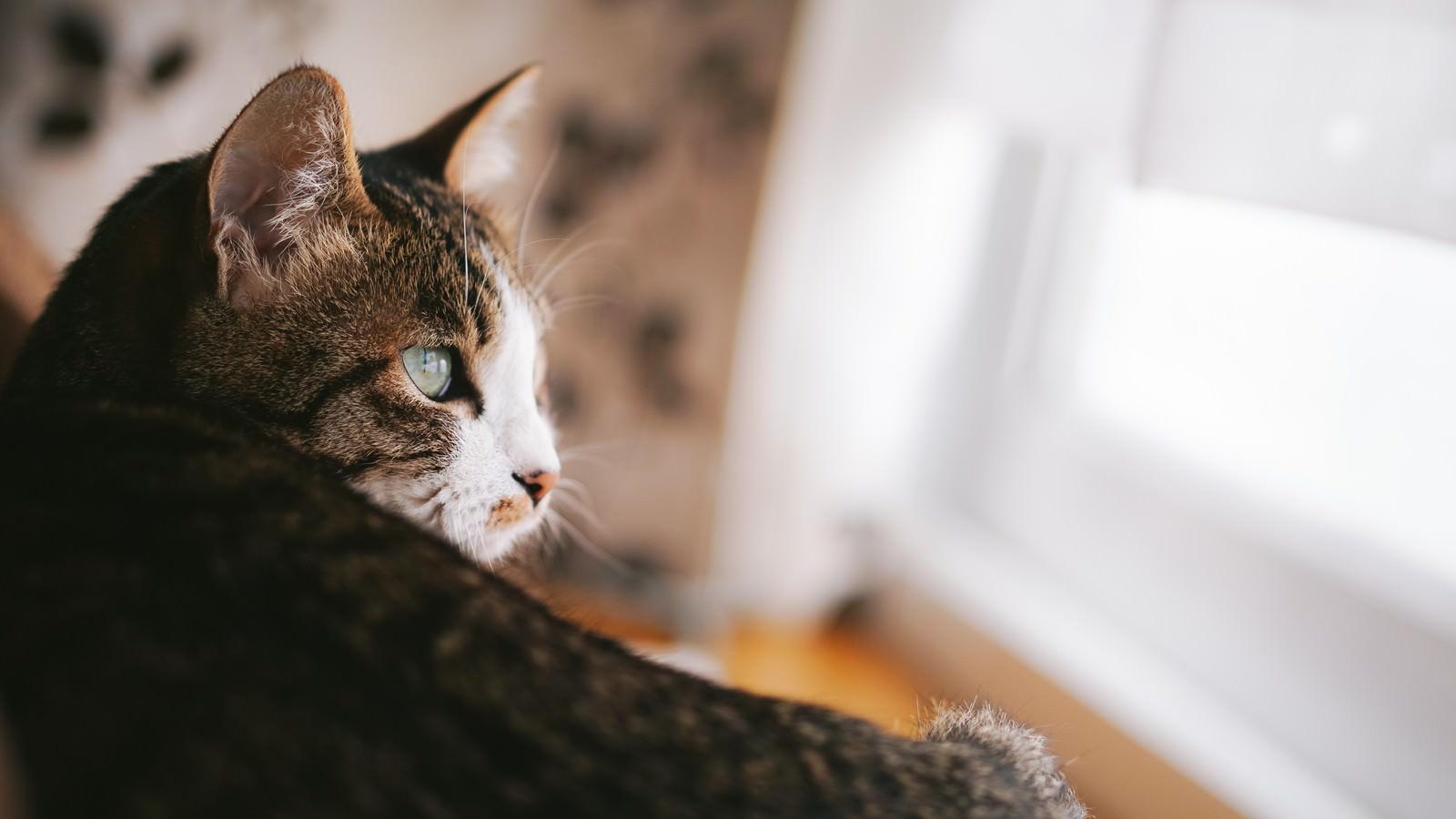 「自然光の入る部屋で生活している猫」の写真