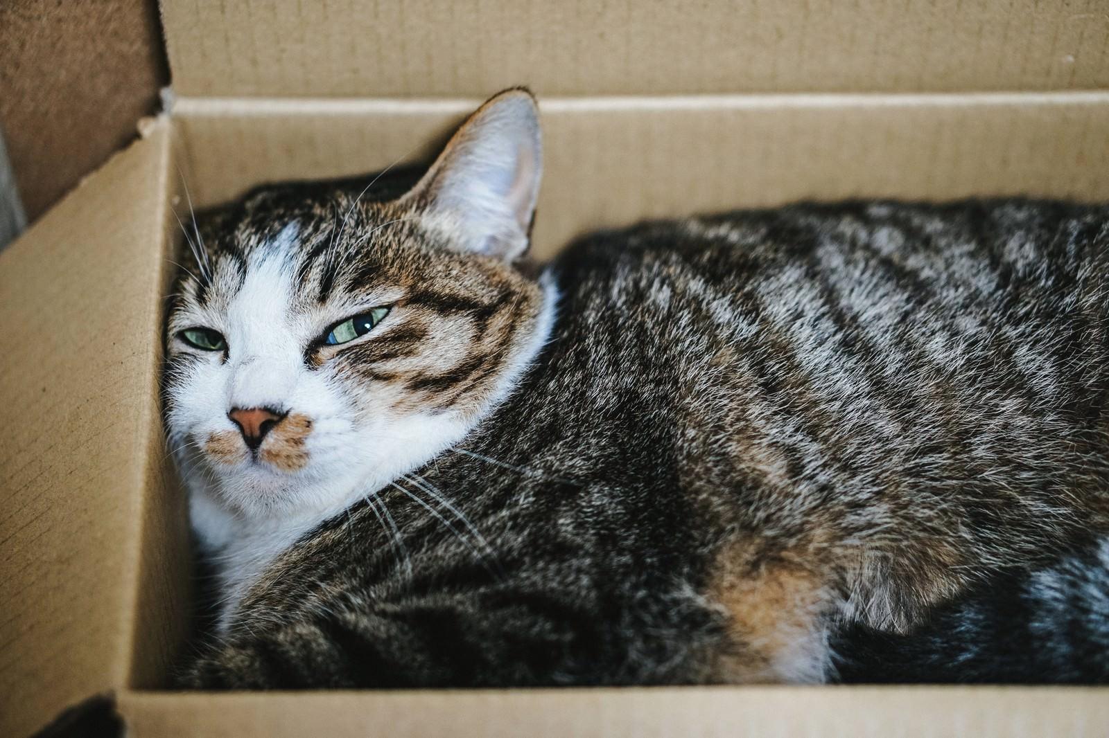 「ダンボールの住猫」の写真