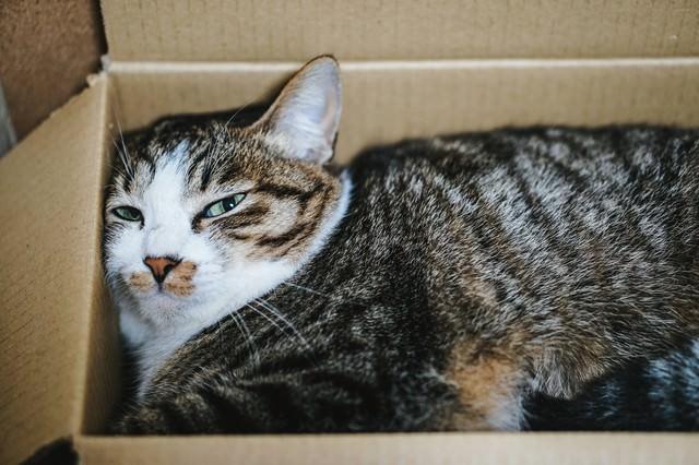 ダンボールの住猫の写真