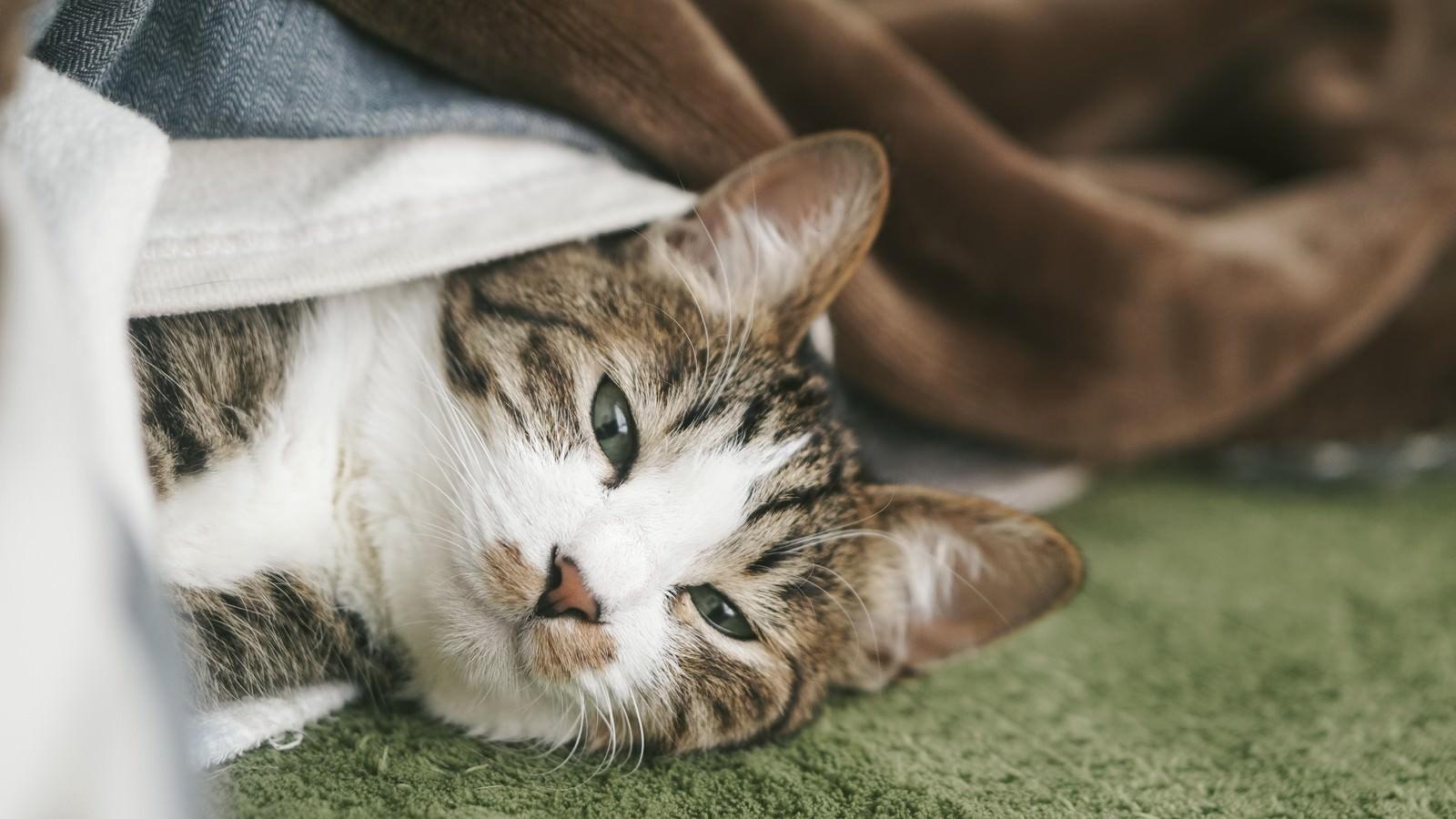 「ぬくぬくのお布団から出てこない猫ぬくぬくのお布団から出てこない猫」のフリー写真素材を拡大