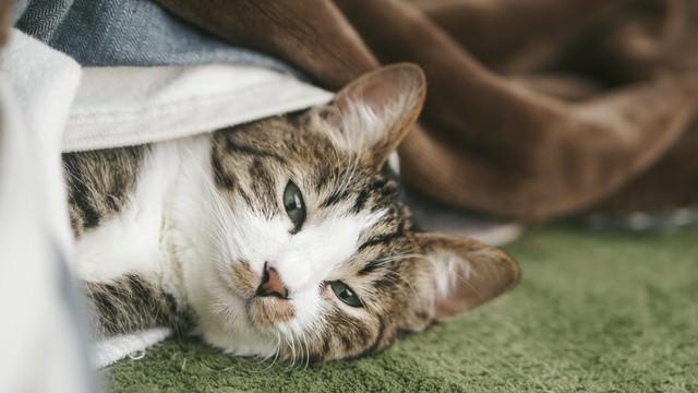 ぬくぬくのお布団から出てこない猫の写真