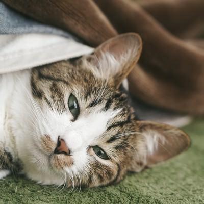 「ぬくぬくのお布団から出てこない猫」の写真素材