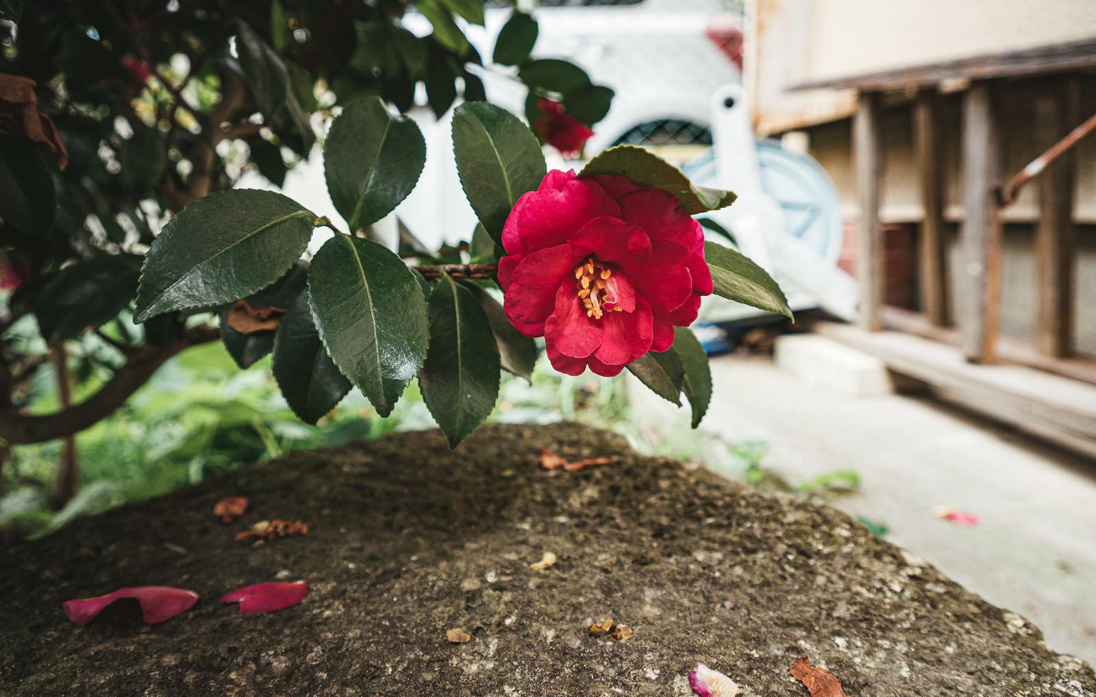 「空き家の庭に咲いた牡丹の花」の写真