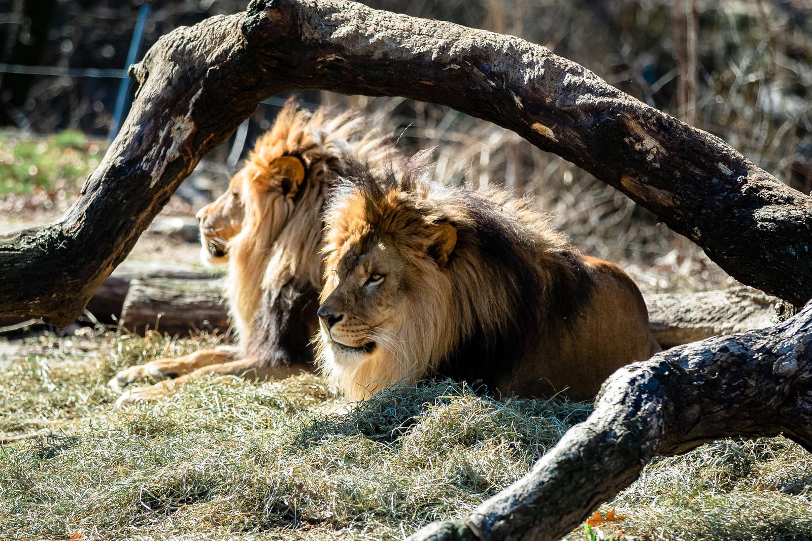 「動物園のライオン2頭」の写真
