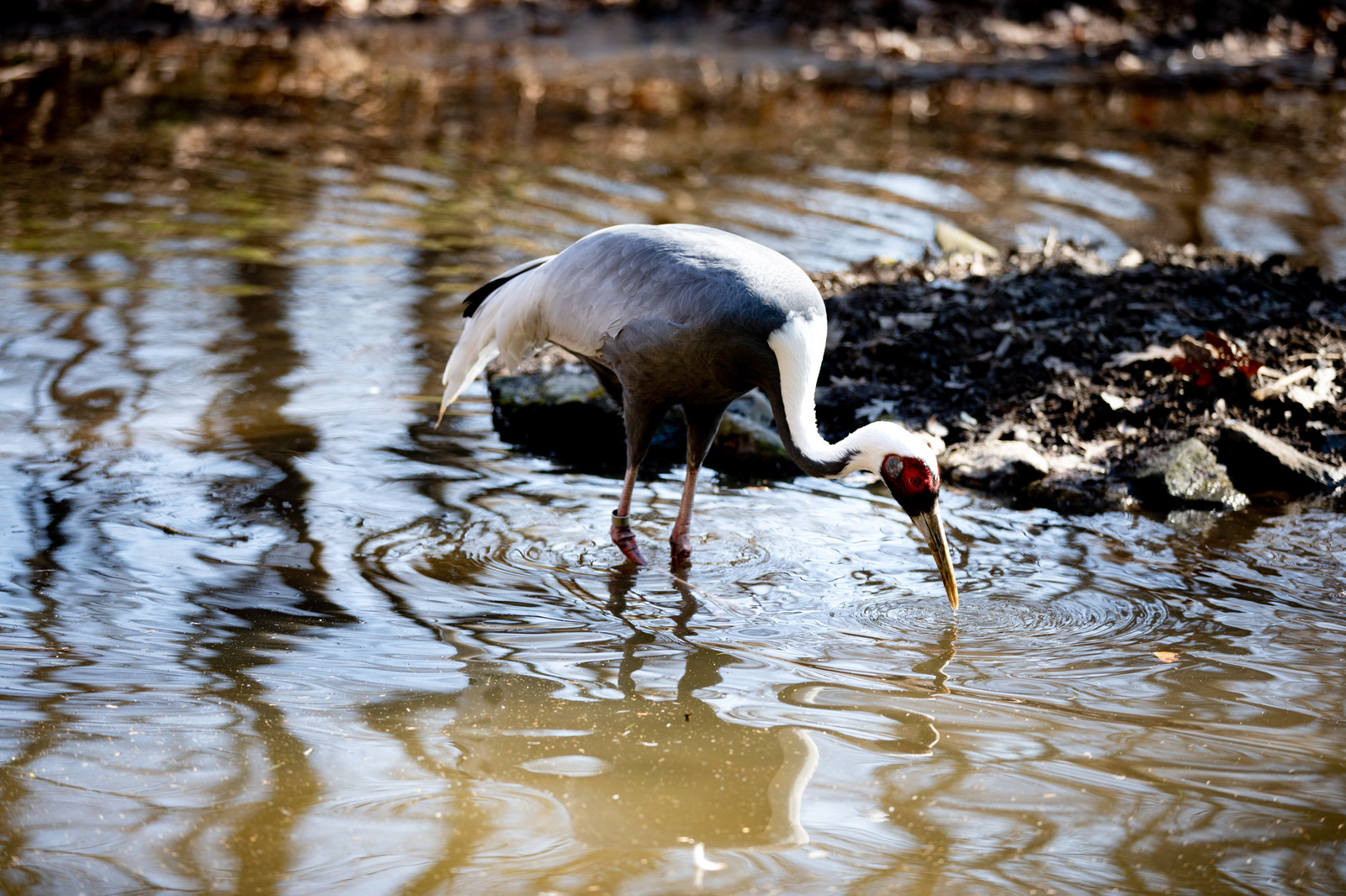 「水場で餌を突く鳥(ニューヨーク)」の写真