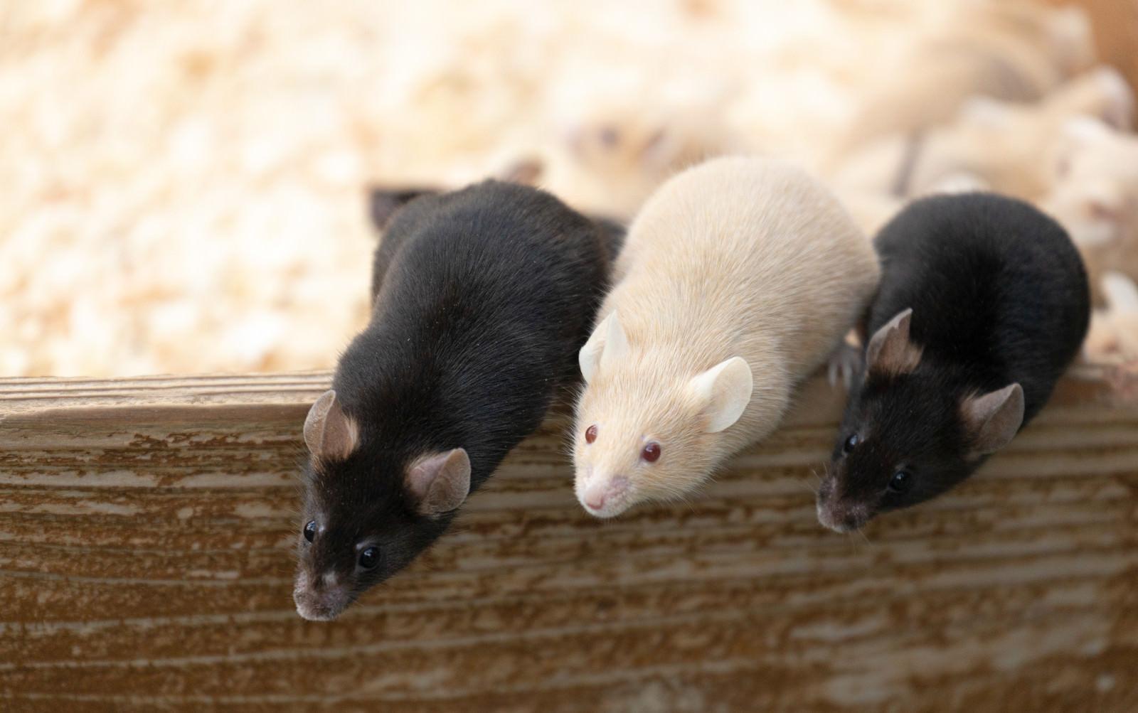 「身を乗り出して餌をもらおうとするハツカネズミ」の写真