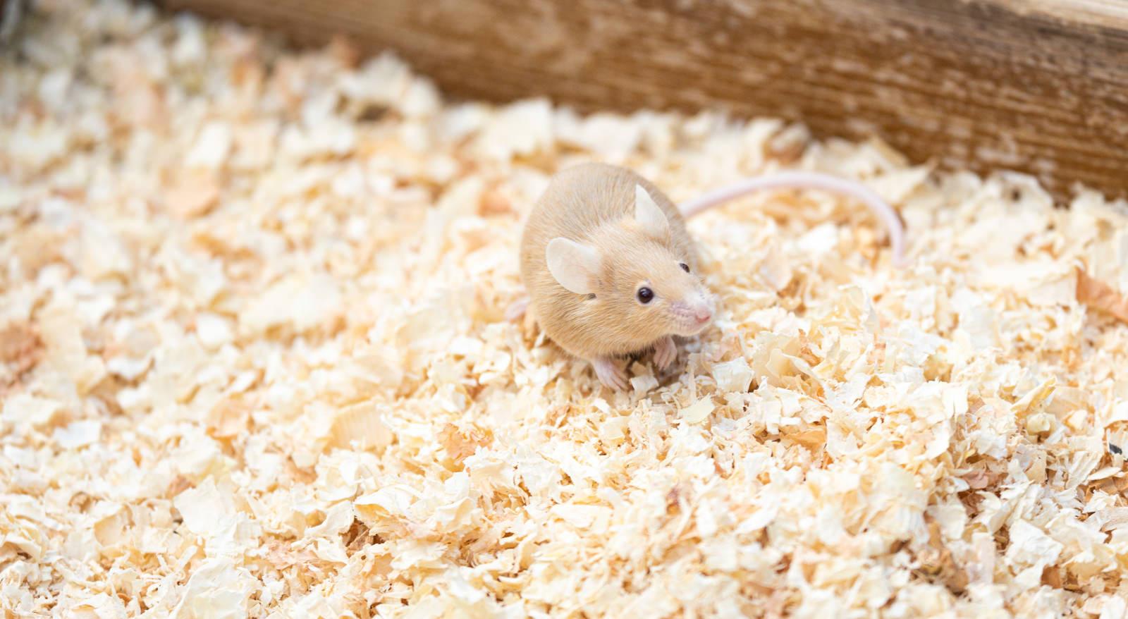 「ハツカネズミ」の写真
