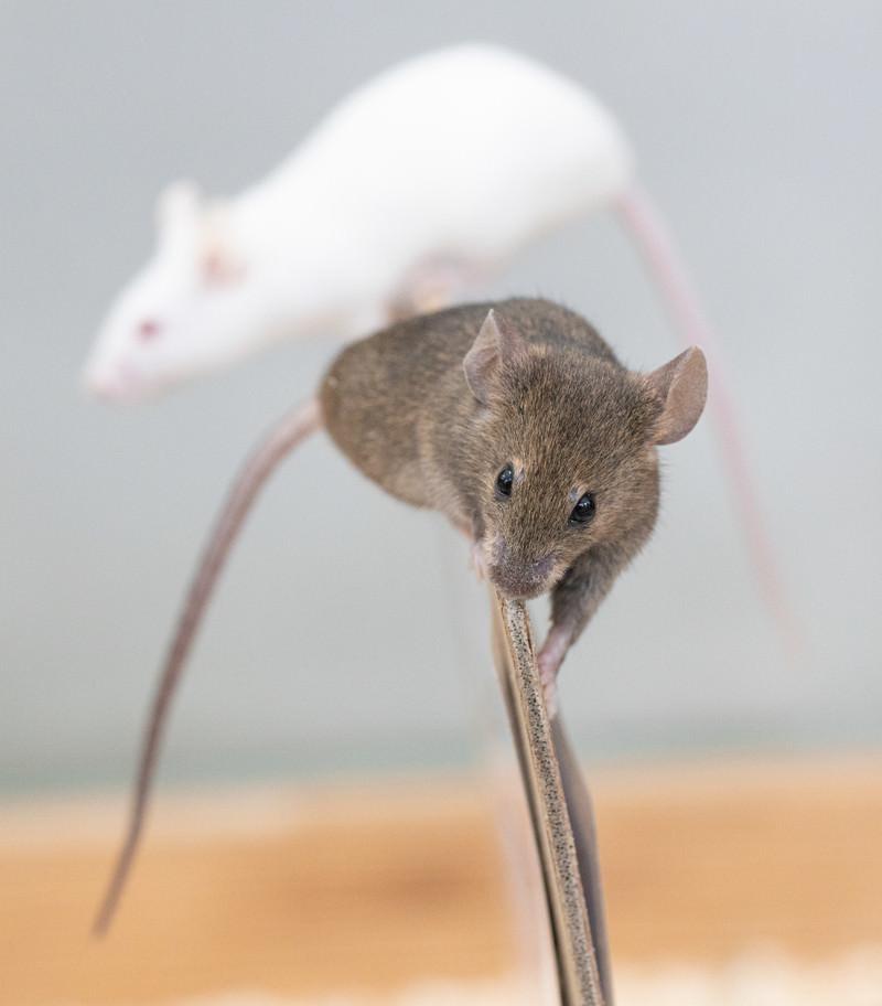 「よじ登るハツカネズミ」の写真