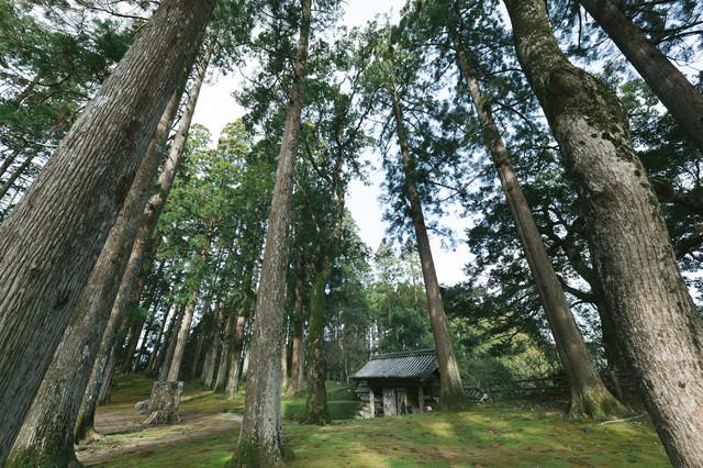飫肥城本丸跡にそびえ立つ飫肥杉と飫肥城裏門の写真