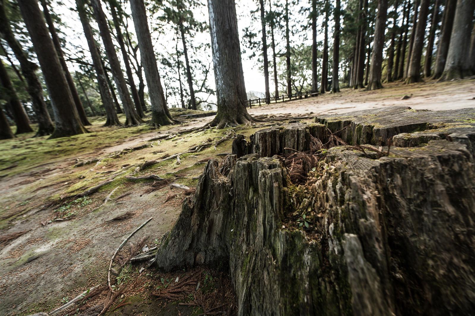 「歴史感じる飫肥杉の切り株歴史感じる飫肥杉の切り株」のフリー写真素材を拡大
