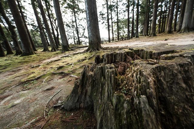 歴史感じる飫肥杉の切り株の写真