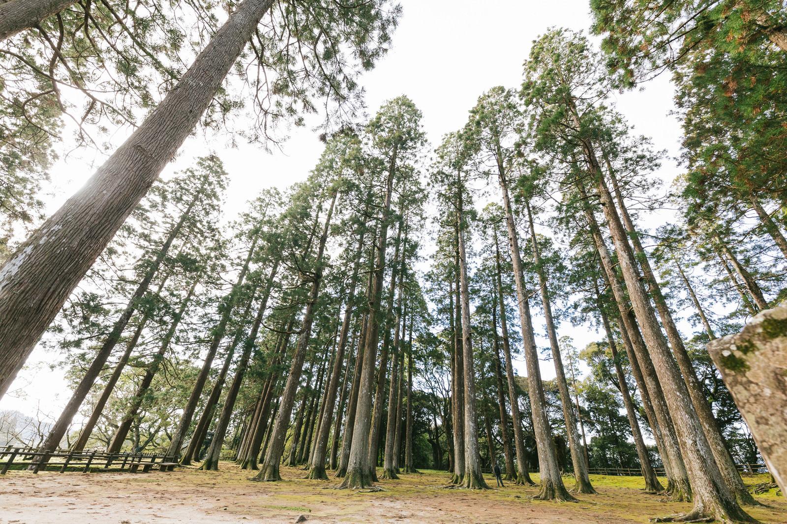 「背丈が高い飫肥杉」の写真