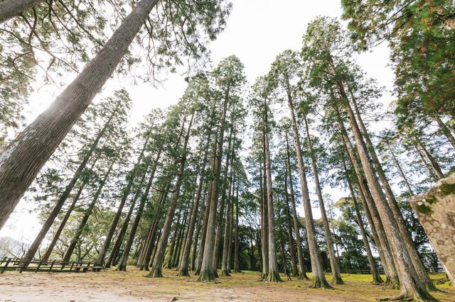 背丈が高い飫肥杉の写真