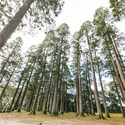 「背丈が高い飫肥杉」の写真素材