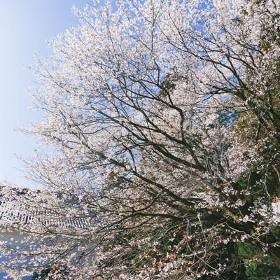 飫肥城内に咲き誇る桜の写真