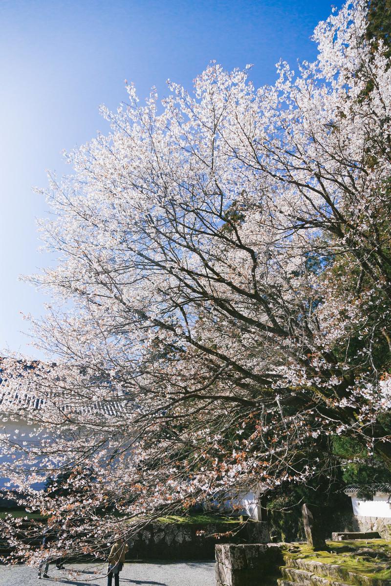「飫肥城内に咲き誇る桜」の写真