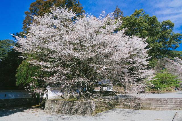 飫肥城内の大きな桜(満開)の写真
