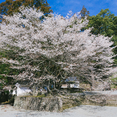 「飫肥城内の大きな桜(満開)」の写真素材