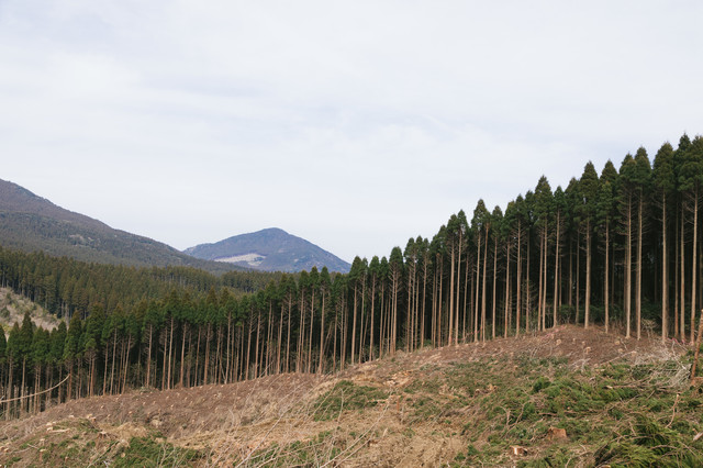 途中まで伐採した飫肥杉山林の写真