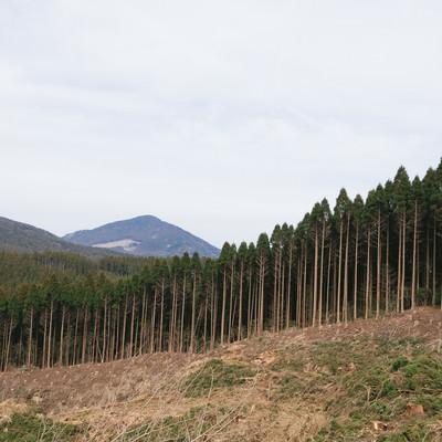 「途中まで伐採した飫肥杉山林」の写真素材