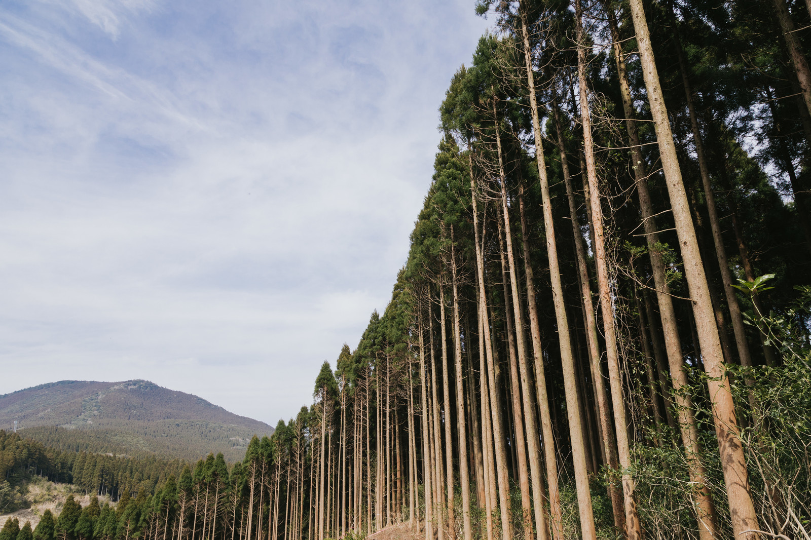 「植林された飫肥杉」の写真