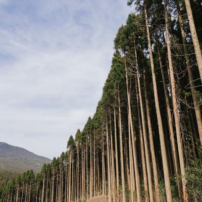 「植林された飫肥杉」の写真素材